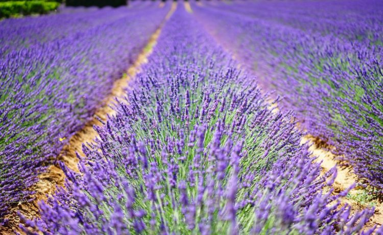 35 Reasons Why you should get Lavender Essential Oil