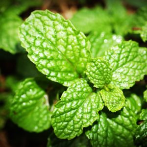 27 Peppermint Oil Uses You Will Love!